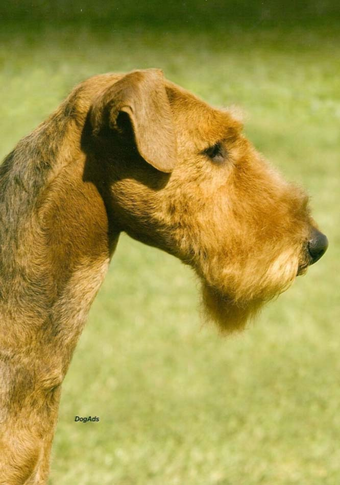 airedale terrier club of america - 452×358